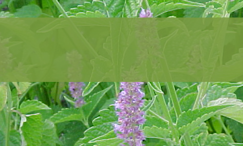 Healing Hyssop Herbal Tea