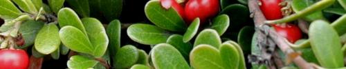 Uva Ursi Herbal Tea UTI