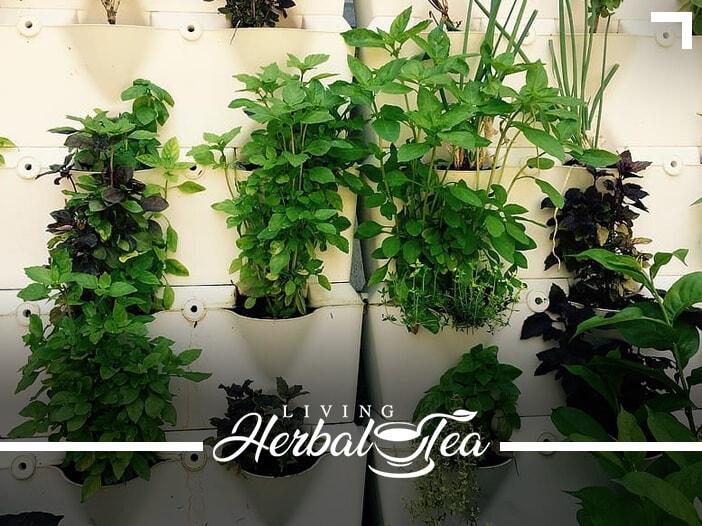 Growing An Herbal Tea Garden