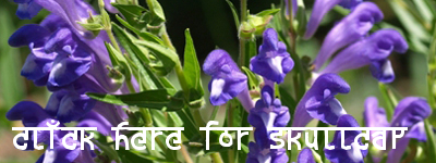skullcap herbal tea meditation