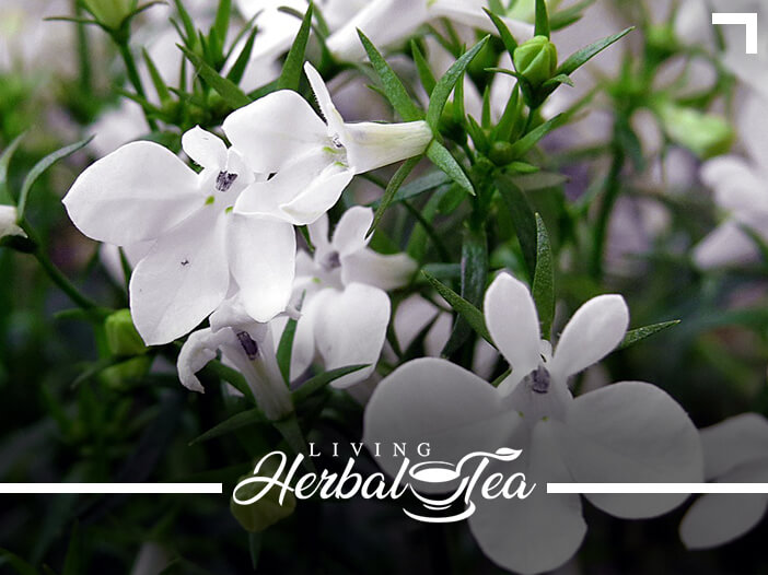 The Healing Power Of Lobelia Herbal Tea