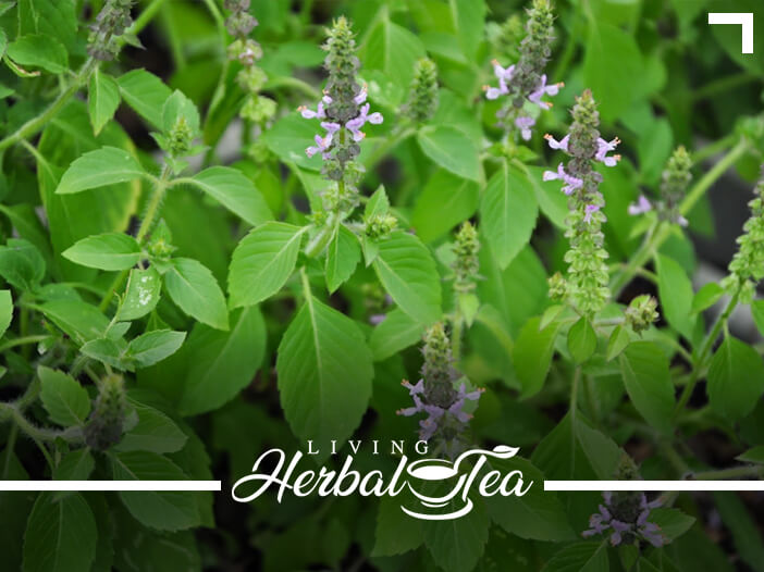 Healing with Holy Basil