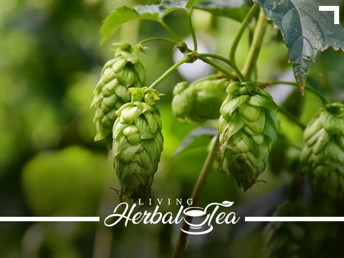 Healing Herbal Tea : Hops